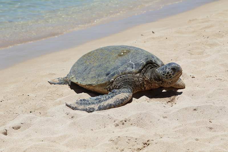 Sea Turtle on St. Simons Island Beach